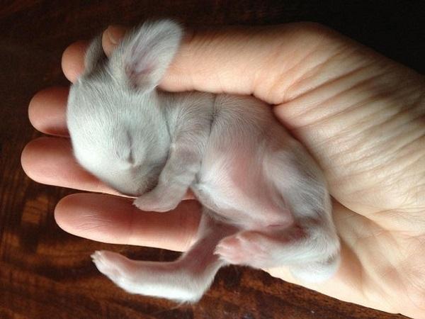 Новорожденный кролик на ладони