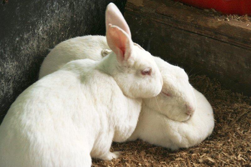 Новозеландская крольчиха и детеныш