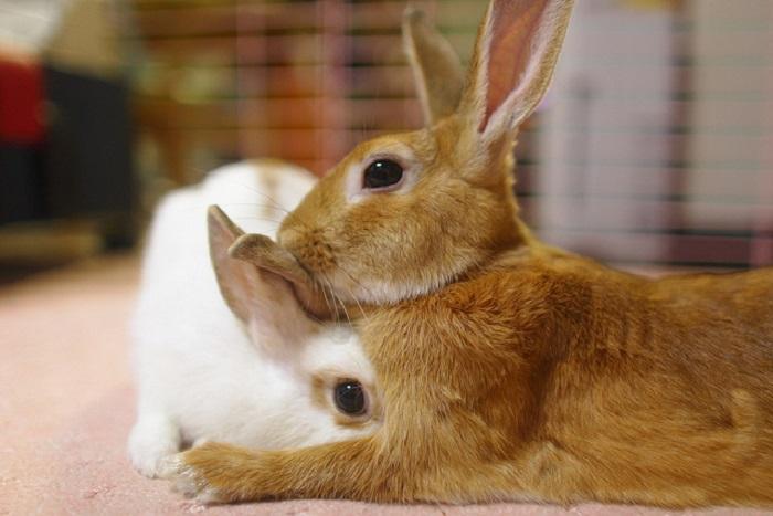 Пара кролей перед случкой