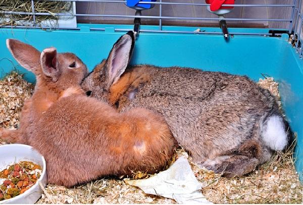 Парализованная и здоровая крольчиха