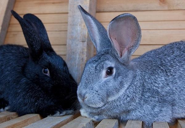 Племенные самцы кролей