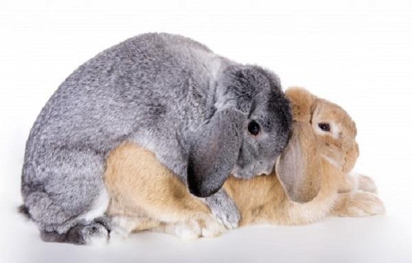 Процесс случки кроликов