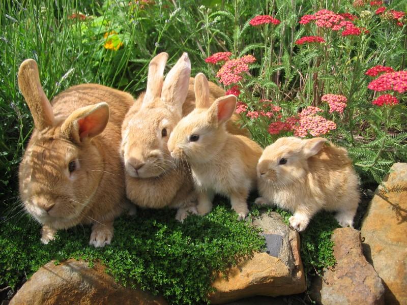 Рыжие кролики в саду
