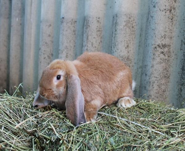 Рыжая вислоухая крольчиха