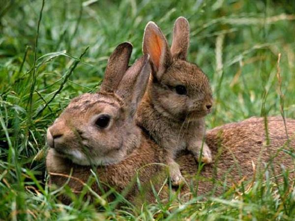 Самка дикого кроля с детенышем