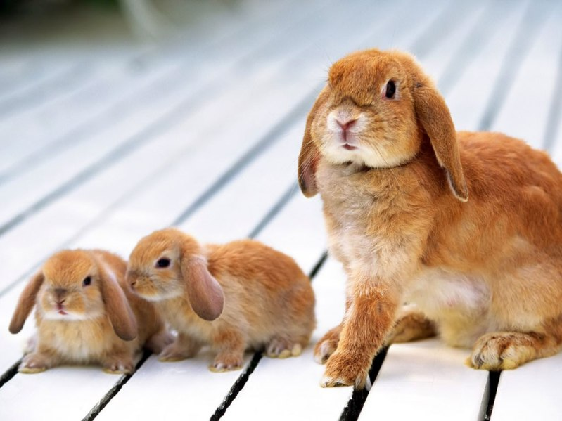 Рыжая самка с детенышами