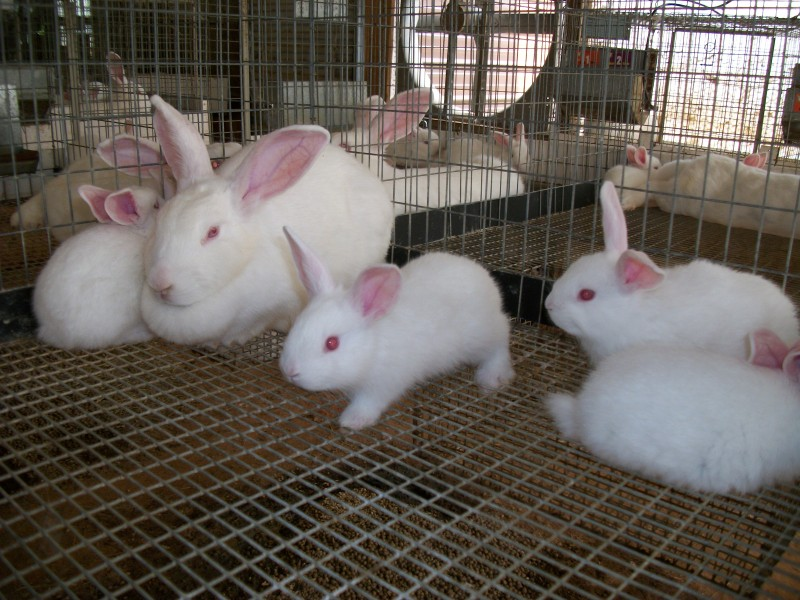Семья Новозеландских кроликов на ферме