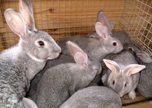 Серая крольчиха с малышами