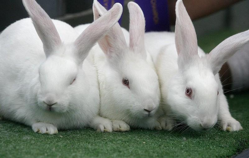 Три Новозеландских белых кроля