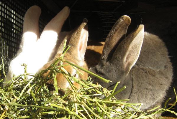 Три кролика едят стебли