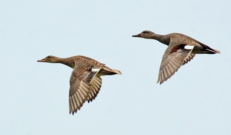 Перелетные серые утки