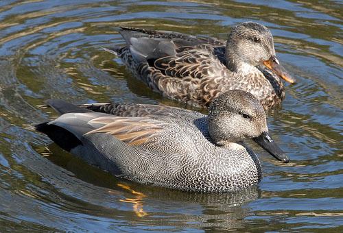 Серые утки: самка и самец