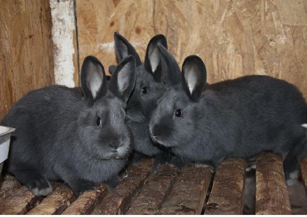 Венские голубые крольчата в клетке