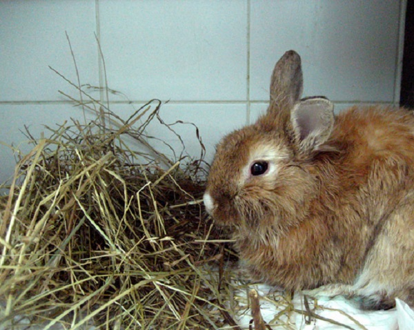 Мокрец у кроликов: обзор болезни и ее лечение