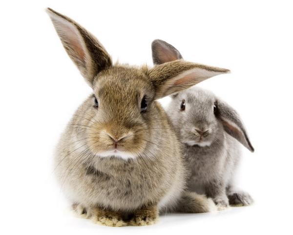 Два декоративных кролика на белом фоне