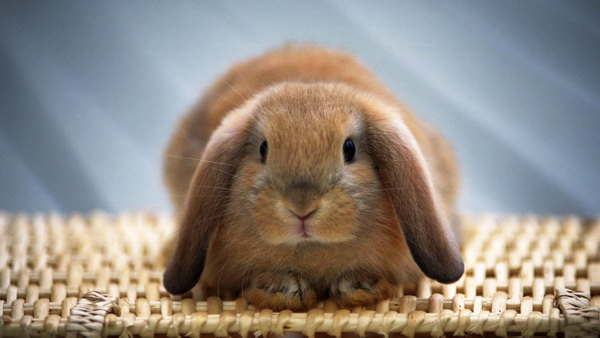 Домашний вислоухий кролик