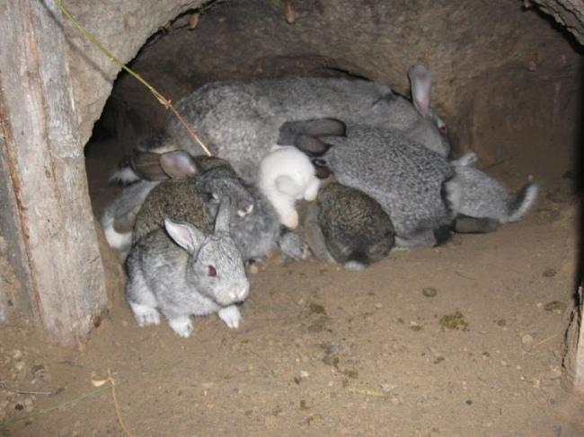 Крольчиха с подросшими крольчатами