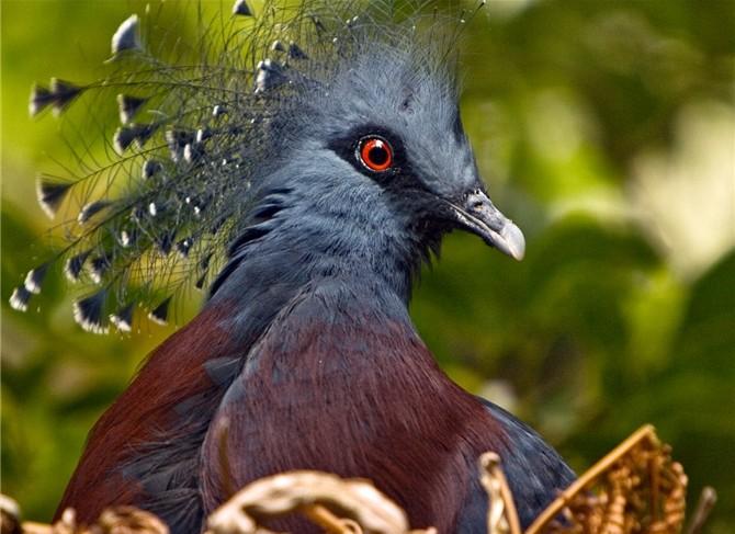 Темный веероносный голубь в профиль