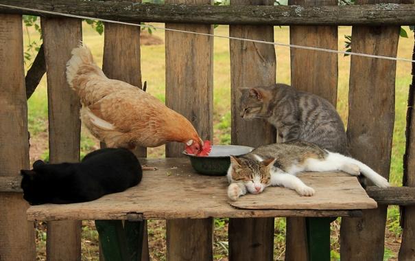 Курица возле отдыхающих котов