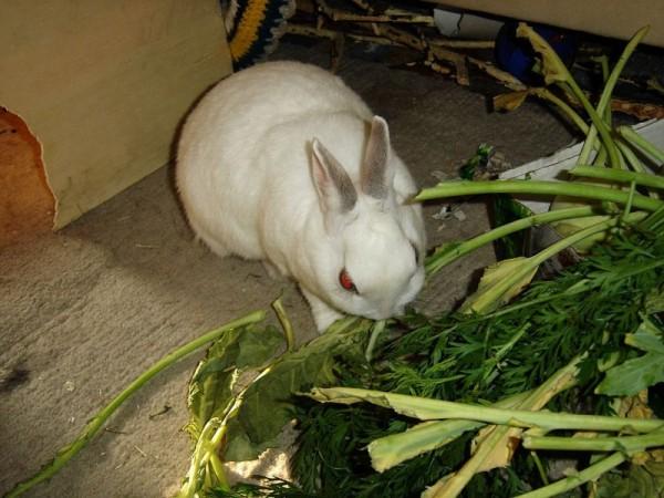 Можно ли кроликам давать свеклу: все за и против