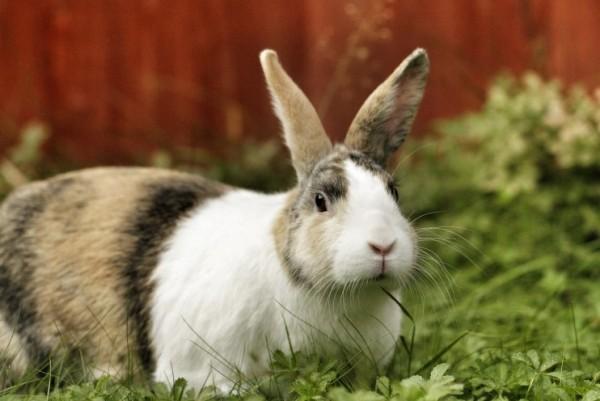 Можно ли давать кроликам сныть: советы и рекомендации