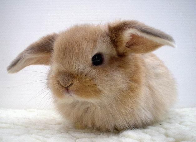Маленький декоративный кролик