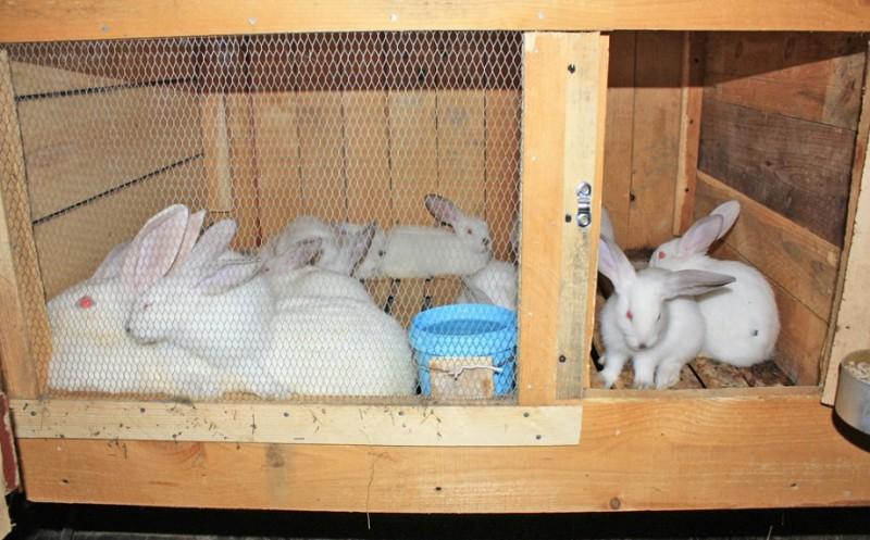 Крольчиха с кроликами в клетке
