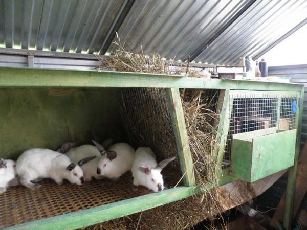 Белые молодые кролики в открытой секции