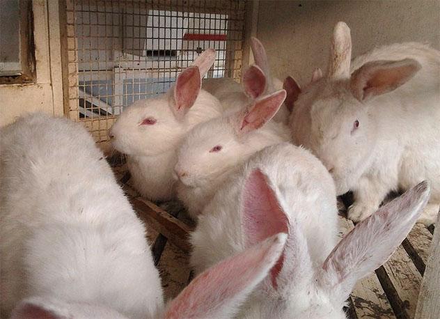 Кролики в клетке для забоя