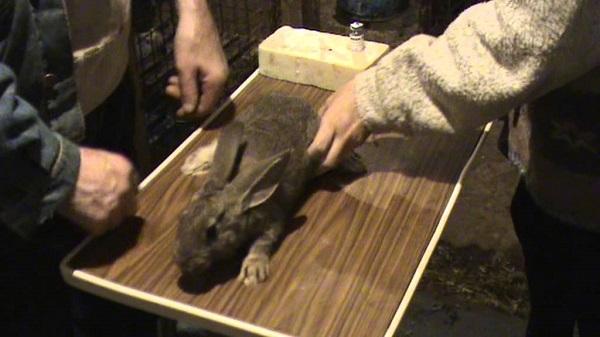 Проведение вакцинации кролика на столе