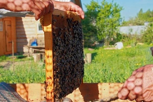 Правильное формирование отводков пчел для увеличения пасеки