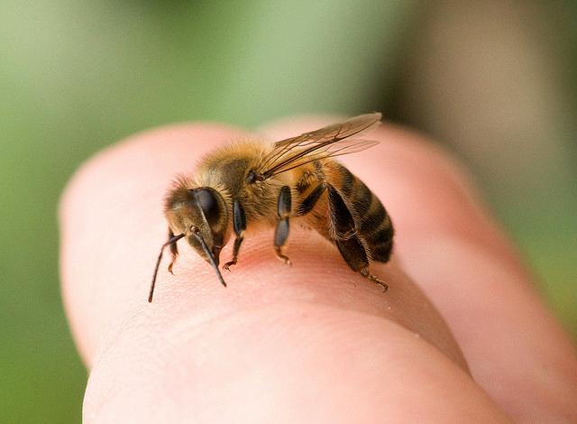 Полосатое насекомое на пальце человека