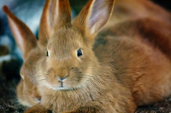 Рыжий крольченок крупным планом