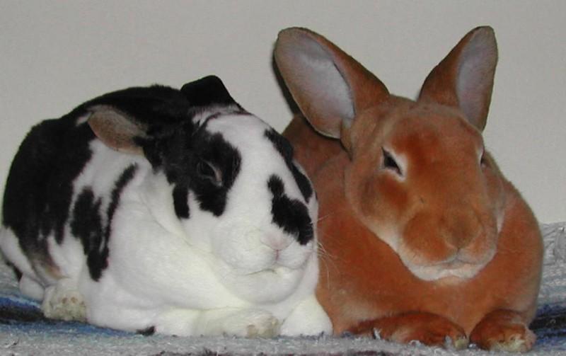 Шикарные представители кроликов-рексов