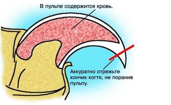 Схема когтя с линией правильного отреза