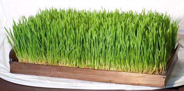 Трава выращенная без почвы