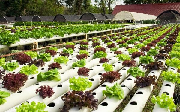 Выращивание зелени без почвы