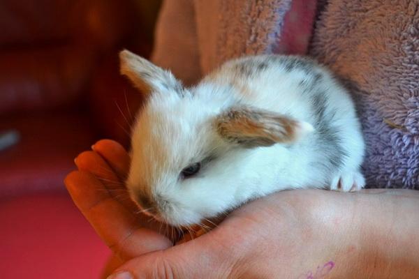 Ухоженный крольчонок на руках