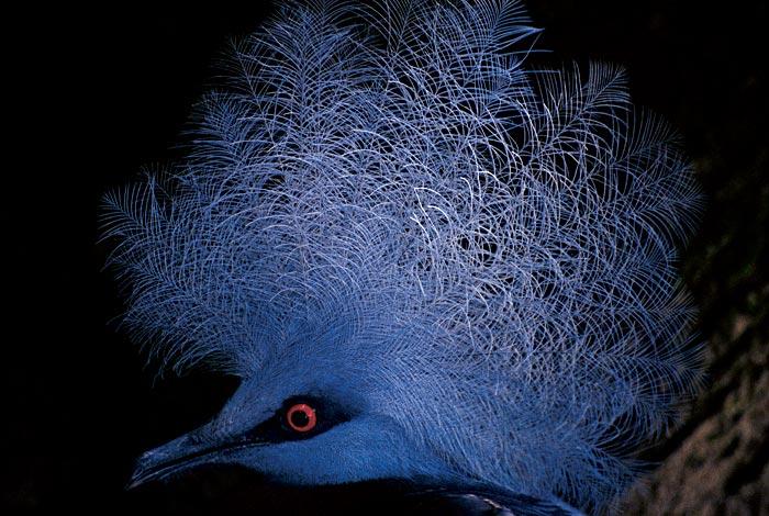 Голубохохлый голубь крупным планом