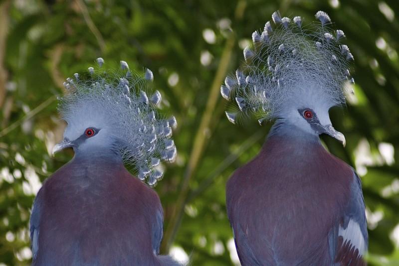 Два венценосных голубя в естественной среде