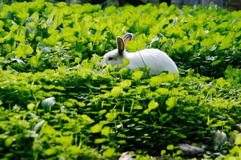 Белый кролик прячется среди разнотравья
