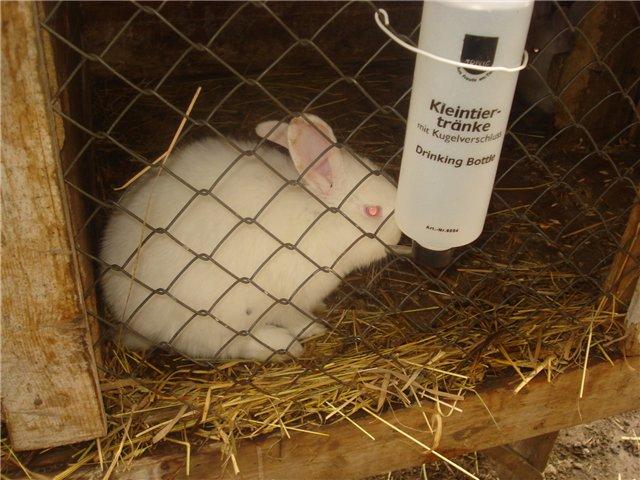 Кролик пьет воду из поилки