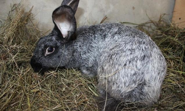 Больная крольчиха лежит на сене