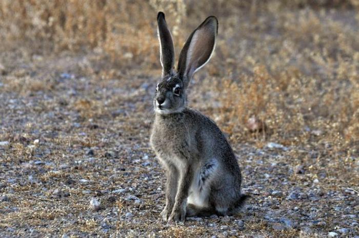 Речной кролик в естественной среде