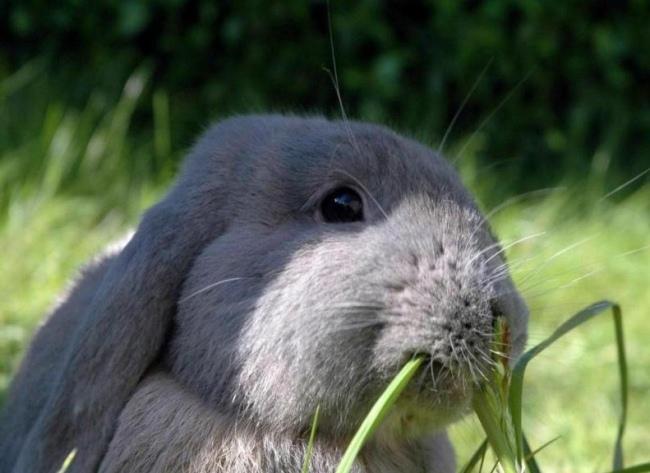 Можно ли кормить кроликов щавлем: все за и против