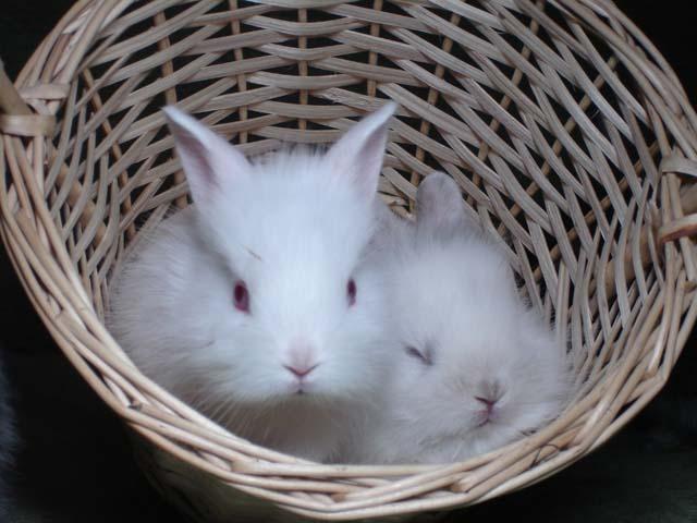 Два белых кролика в корзинке