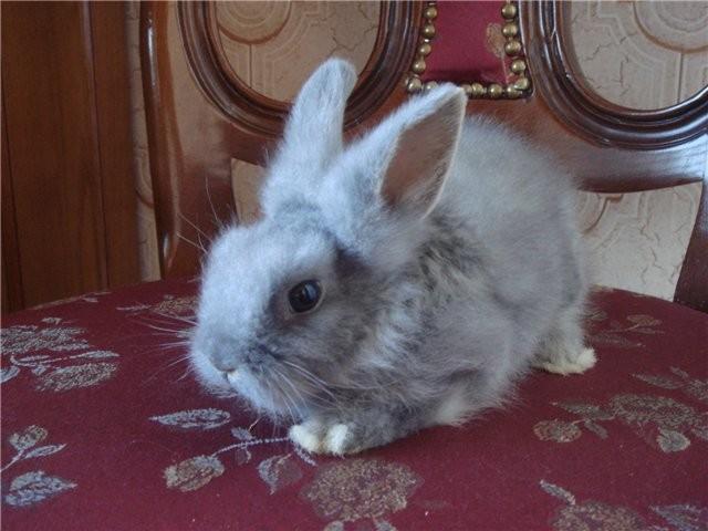 Пушистый декоративный кролик