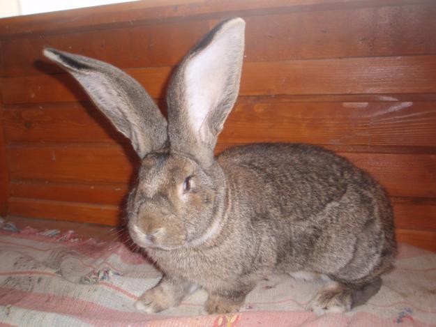 Бельгийский кролик в крольчатнике
