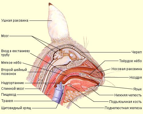 Схема строения головы кроля