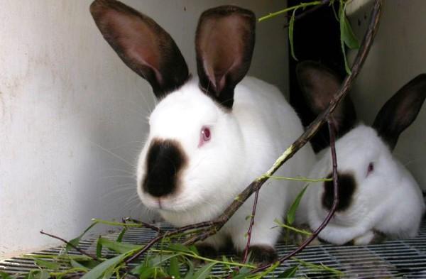 Кролики едят ветку